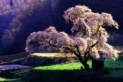 桜 (Cherry Tree, Japan)